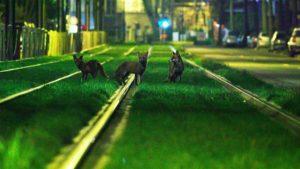 Projection du film «Bruxelles Sauvages, faune capitale» le 3 mars